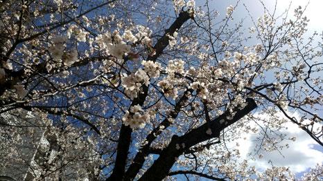 桜台ビレジの桜